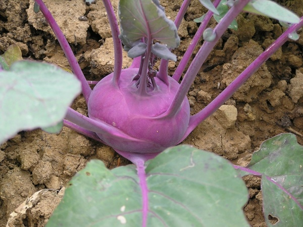 kohlrabi_vegetables_violet_221736