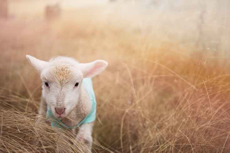 adorable agriculture animal animal photography