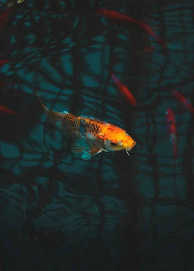 close up of koi fish